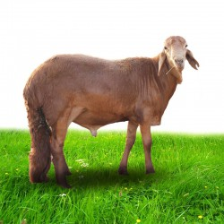 خروف حملان سواكني اللحم الصافي: 23 -27 كغ