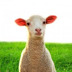 خروف اسباني صغير اللحم الصافي: 9-11 كغ