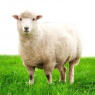 خروف اسباني كبير اللحم الصافي: 22-25 كيلوغرام