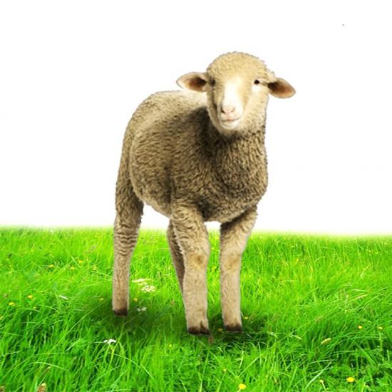 خروف روماني صغير  اللحم الصافي: 12-14 كغ