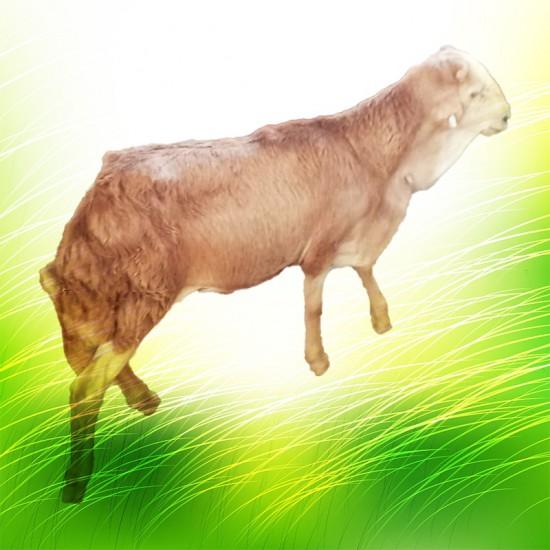 نصف خروف رفيدي صغير الوزن بعد الذبح : 6-8 كغ